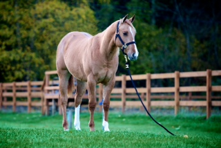 A fancy 2 year old, Red Dun Mare by leading NRHA sire Jac Daniels Neat...